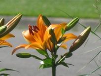orange oriental lilies
